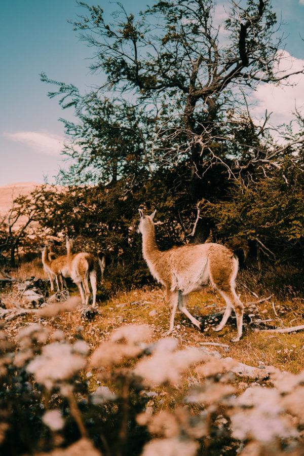 Guanacos, Patagônia